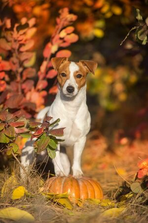 Jack russel terrier with pumpkin and fall leaves at sunlight