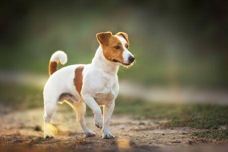 Jack russel terrier standing in sunlight