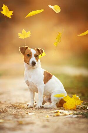 Jack russel terrier in falling leaves