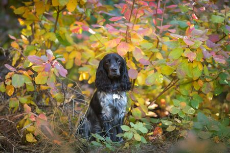 Russian spaniel close up portrait in autumn leaves 스톡 콘텐츠