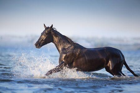 Black horse run in blue river  Stok Fotoğraf