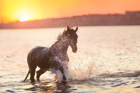 Black horse run in sunset light in river