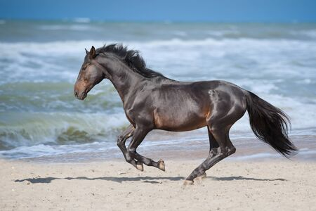 Horse run gallop on seashore