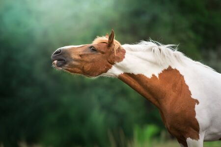 Red pinto horse close up portrait outdoor
