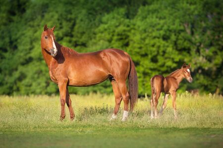 Red mare and foal  on spring green  meadow