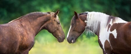 Two horse pinto and Silver dapple close up portrait