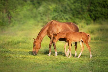 Jument rouge et poulain paissant sur le pré vert de printemps