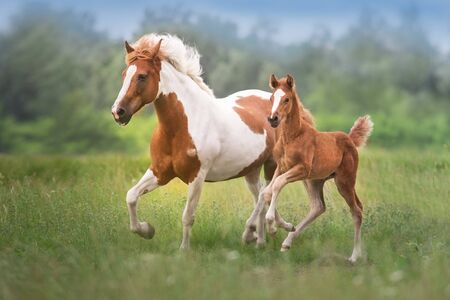 Pinto mare and red foal run on spring green  meadow