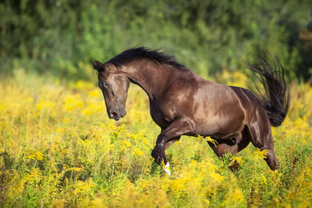 Black horse run gallop in field