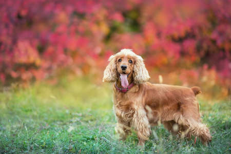 English cocker spaniel close up portrait in autumn leaves