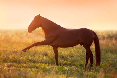 Horse standing in sunset field