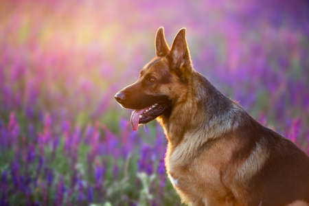 German shephard dog close up portrait in flowers meadow