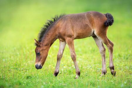 Bay foal on spring green pasture Фото со стока