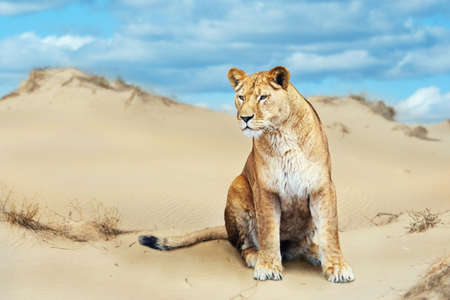 Portrait of African lion male  in hot sunny day in desert