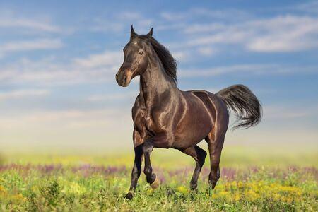 Bay horse run fast on flowers field Фото со стока
