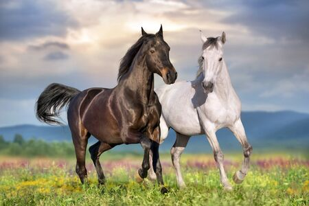 Two beautiful horse run gallop on flowers field with blue sky behind Archivio Fotografico