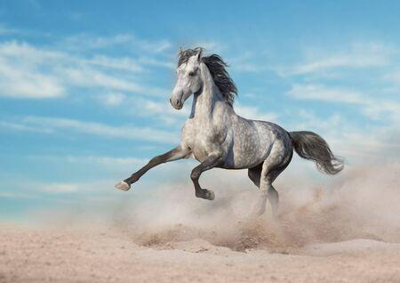 Grey horse run gallop in desert sand against blue sky