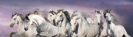 White horses free run in desert. Panorama for web