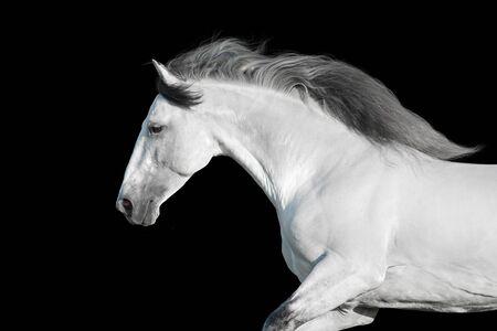 White lusitano stallion with long mane portrait in motion on black background