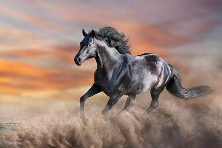 Black horse run gallop in desert dust against sunset sky