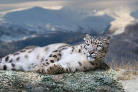 Snow leopard lay on a rock against snow mountain landscape Фото со стока