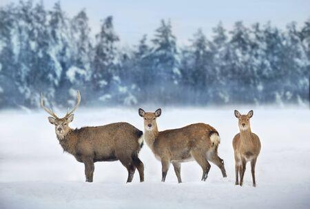 Deers in snow  winter landscape Фото со стока