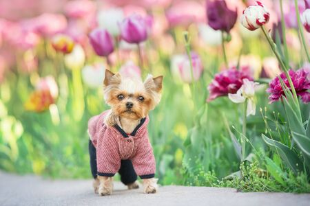 Yorkshire Terrier on spring tulip flowers Фото со стока