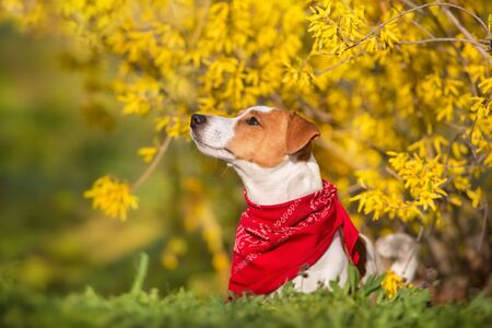 Jack russel terrier close up portrait on spring yellow flowers