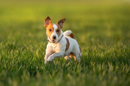 Jack russel terrier run on green spring field