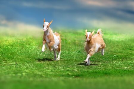 Beautiful cute goat kids on green spring grass Фото со стока