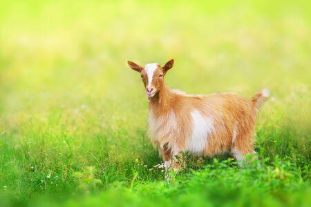 Beautiful cute goat kid on green spring grass