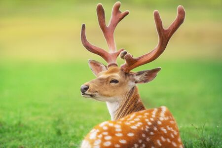 Beautiful deer portrait on spring meadow with big horns