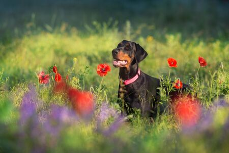 Doberman portrait close up in poppy and violet flowers