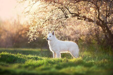 White Swiss Shepherd Dog in spring blossom garden Banco de Imagens