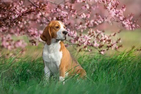 Beagle dog in pink sakura flowers