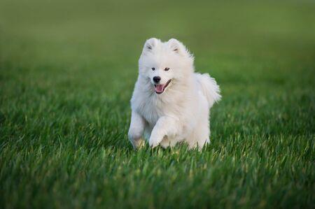 Samoyed dog run in green field