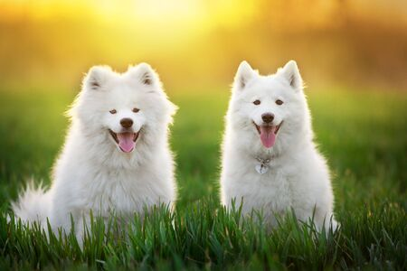 Couple Samoyed dog in in green field at sunset Banco de Imagens