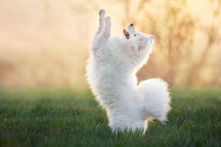 Samoyed dog do trick in green field