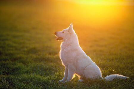 White Swiss Shepherd Dog in spring green grass at sunset Banco de Imagens