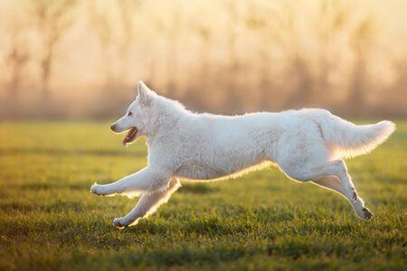 White Swiss Shepherd Dog runin spring green grass