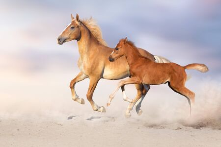 Palomino horse and red foal free run in sandy dust Banco de Imagens
