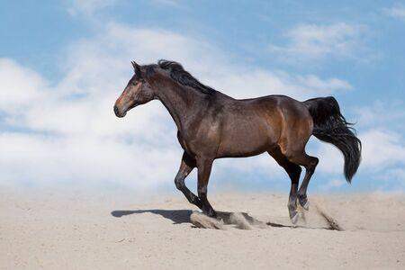 Bay Horse free run on desert dust