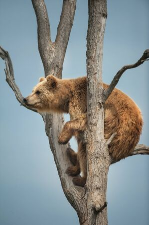 Brown bear climbing in tree against blue sky