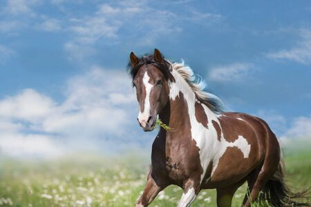 Pinto horse with long mane run gallop close up on green spring flowers meadow