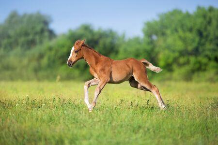 Beautiful red foal run and fun on spring green field Banco de Imagens