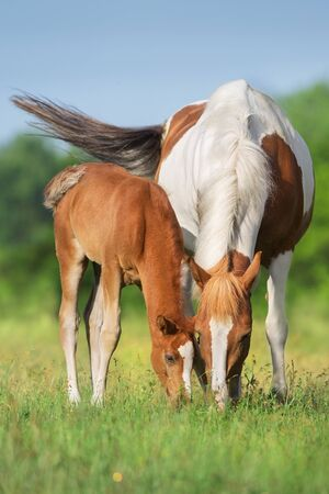 Piebald mare and red foal on spring pasture Banco de Imagens