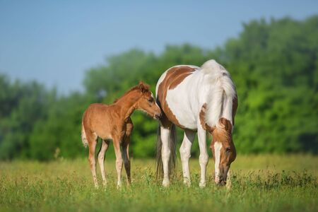 Piebald mare and red foal on spring pasture Фото со стока