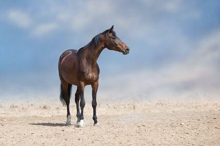 Bay horse standing in desert