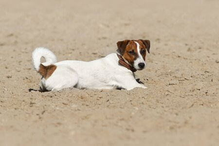 Jack russell terrier dog lay on a beach of sea