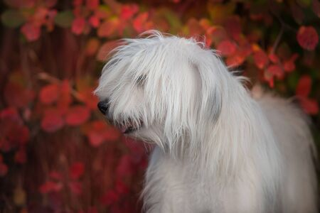 South russian shephard dog in red autumn leaves